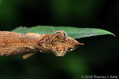 View From Above (Tom's Macro and Nature Photographs) Tags: madagascar reptiles chameleons calumma andasibe insitu forest lizard naturephotography wildlifephotography animals