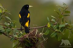 Yellow-rumped Cacique #Explored (fascinationwildlife) Tags: animal bird birding yellow rumped cacique wild wildlife nature natur tree forest djungle pantanal brazil brasilien south america südamerika vogel
