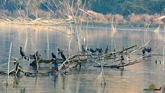 A-LUR_1982 (OrNeSsInA) Tags: ornessina trasimeno lago byrd natura nature aironi umbria itali italia