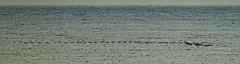 Wader Flight (ianbartlett) Tags: 365 outdoor wildlife nature birds flight monochrome sea sand water dogs groynes drone landscape light colour seal