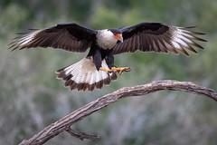 In for the landing (tspine) Tags: crestedcararaca santaclararanch texas