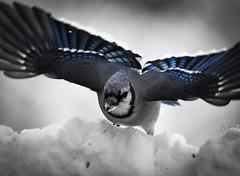 Snow day: January 13, 2019 (nickkirkhorn) Tags: wildlife snow bird pf f4 300mm d7200 nikon