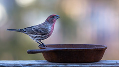 Stopping for a Sip (dshoning) Tags: bird male housefinch winter iowa pan drink