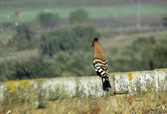 ein wiedehopf geniesst die aussicht (lualba) Tags: wiedehopf hoophoe vogel bird oiseau landscape landschaft trees bäume gras zaun fence alentejo portugal