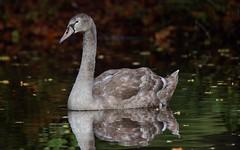 a Juvenile white swan (zoom in please) (Franck Zumella) Tags: cygne swan oiseau bird lake lac water eau juvenile jeune chick poussin white blanc wildlife nature