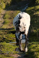 Cause holy cow, I love your eyes (Livesurfcams) Tags: cow meadowlady devon fuji fujifilm reflection