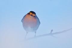 IMGP9699 (jarle.kvam) Tags: robin bird fugl tromøy norway winter snow rødstrupe