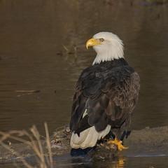 Bald Eagles (nickinthegarden) Tags: americanbaldeagle baldeagle eagle nicomenslough fraservalley bc canada