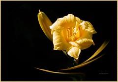 The Way You Look Tonight ... ... ... ( FAVES STOP !! ) (ljucsu) Tags: flower macro flowermacro yellowflowers plant outdoor coloursonblack yellowonblack hemerocallis sásliliom tuxpicom photoscape ngc npc fantasticnature