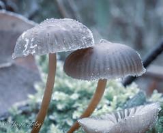 freezing cold mushrooms (JosjeToby) Tags: mushroom mushrooms nature naturephotography macro macrophotography macrodreams macromood macros bokeh bokehandblur blur priborn germany sonya6000