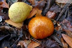 Aesculus californica, CALIFORNIA BUCKEYE (openspacer) Tags: aesculus buckeye jasperridgebiologicalpreserve jrbp nut sapindaceae tree
