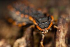 IMG_6940-6 (weishou) Tags: coleoptera lycidae macro platerodrilus rrr trilobitebeetle