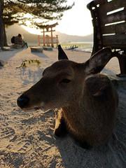 Yasumu (bruno carreras) Tags: japon japan nippon isla island miyajima isukushima pagoda templo temple torii senjokaku hatsukaichi miyajimacho ciervo deer shika sol sun sunsen aterdecer puerto budismo budist