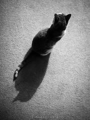 Shadow Cat 11/52 2019 (amipal) Tags: animal cat england feline gb greatbritain home manny pet saltdean uk unitedkingdom photo52 photoaweek