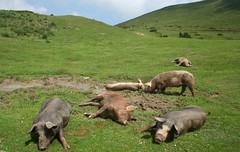 La belle vie : sieste coche au col du Soulor. (chug14) Tags: porc animalia artiodactyla suidae susscrofadomesticus