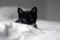 My new roommate, Jack! (katjacarmel) Tags: cat kitten katze chat animal pet dier huisdier cute black white portrait
