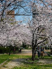 Osaka - Kema Sakuranomiya Park (Noti NaBox) Tags: sakura cerisier cherry blossom fleur hanami osaka sakuranomiya park parc lumix g80 g85 japan japon