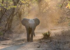 Wait for me! (tickspics ) Tags: africa lowerzambezi africanelephant zambia bushelephant elephantidae iucnredlistvulnerable loxodontaafricana mammalia proboscidea savannaelephant