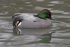 falcated duck (DODO 1959) Tags: wildlife falcatedduck avian birds drake fauna water outdoor captive nature wales carmarthenshire llanelli wwt olympus omdem1mk2 300mmf4 micro43
