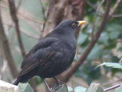 Blackbird Male (river crane sanctuary) Tags: blackbird male rivercranesanctuary