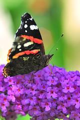 Admiral (Vanessa atalanta) / Red admiral (uwe125) Tags: tier insekt schmetterling animal insect butterfly kleiner small blüte nektar nectar blossom blume admiral