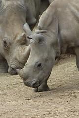 IMG_1381 (Medium) (gilsch) Tags: france zooparcdebeauval zoo animal beauval rhinoceros rhino
