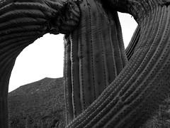 Möbiuskaktus / Prickly Pretzel (bartholmy) Tags: arizona az kaktus cactus saguaro stacheln stachlig verdreht warped berg hill hillside monochrome minimal minimalism minimalismus minimalistisch abstrakt abstract