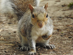 Grey Squirrel (blue33hibiscus) Tags: animal mammal rodent greysquirrel wildwood kent