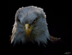 Mean Mug (Eric Steele Photography) Tags: eagle bird stare unitedstates usa glare black