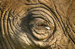 A window to the soul... (lyn.f) Tags: african elephant loxodontaafricana eye chobenationalpark botswana mammal