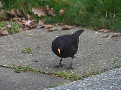Blackbird Male (river crane sanctuary) Tags: blackbird male rivercranesanctuary bird
