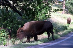 Bison on the Road 2 (pmvarsa) Tags: summer 2001 analog film 135 kodak kodakroyalgold 200iso nikonsupercoolscan9000ed nikon coolscan west western outdoor activity tourism tourist custer state park needles highway iron mountain road trees bison herd wildlife animal sky pine grass canon ftb canonftb classic camera southdakota sd usa america unitedstates