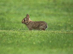 In The Green (Diane Marshman) Tags: easterncottontail cottontail rabbit bunny young immature baby brown tan white black fur greenbackground grass summer pa pennsylvania nature wildlife