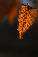 Rotbuche (franzmarkus) Tags: forest wald laub winter natur nahaufnahme makro bokeh nikon z6 fx nikkor 105mm vr buche rotbuche dslm mirrorless fullframe