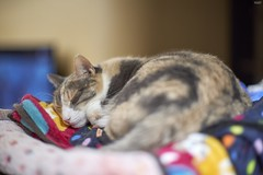 A9__DSC3111_C1 (Bazoka+Cynthia) Tags: pupu 小婆 新北市 樹林區 貓 cat