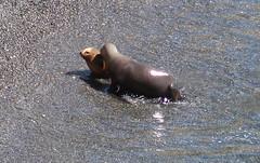 2018-102534 (bubbahop) Tags: 2018 antarcticatrip puertomadryn argentina punta loma natural reserve sealions animals