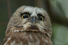 Do I look ticked off..? (Earl Reinink) Tags: eyes beak owl sawwhetowl raptor bird animal woods outdoors nature earl reinink earlreinink ierdtaaaza