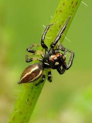 Sylvana Jumping Spider (treegrow) Tags: rockcreekpark washingtondc nature lifeonearth raynoxdcr250 arthropoda salticidae colonussylvanus