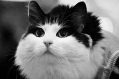 6Q3A6466 (www.ilkkajukarainen.fi) Tags: kissa suomi finland finlande happy life helsinki kamppi blackandwhite mustavalkoinen monochrome eläin eyes silmät