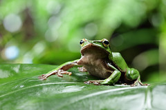 2J4A8050 (ajstone2548) Tags: 12月 樹蛙科 兩棲類 翡翠樹蛙