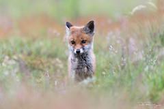 New To The World (DanRansley) Tags: britain danransleyphotography danransleynet england gb greatbritain uk unitedkingdom vulpesvulpes animal canine fox mammal nature redfox wildlife