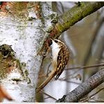 Treecreeper. (Certhia familiaris) #hwcp thumbnail