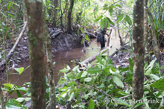 Guiding the tree trunk down the stream to the river (10b travelling / Carsten ten Brink) Tags: carstentenbrink 2018 arafura arafurasea asia asiapacific asian asie asien asmat asmatregency azmat desep iptcbasic indonesia indonesian indonesien irianjaya omanasep omandasep omandesep omanesep pacific pacificocean papoea papouasie papua papuaprovince papuan southpapua westpapua ancestorpole ancestorveneration bisj bisjpole cmtb cutting ethnicgroup headhunting lodgepole mangroveswamp palm rainforest sago swamp tenbrink tidalswamp tree woodcarvers woodcarving