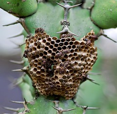 wasp nest (Wanda Amos@Old Bar) Tags: insect wasp nest prickles stings wandaamos
