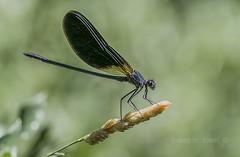 calopteryx-haemorrhoidalis  (mascle) (Josep M.Toset) Tags: arthropoda artrópode bosc camí altcamp catalunya cavallet·del·diable d800 calopterygidae odonat macro nikon josepmtoset libèl·lules zigòpter plantes sigma105mmf28exdgoshsm