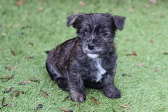 ONe (4) (AlmostHome_Dog) Tags: almost home dog rescue north wales puppy puppies pup pups westie yorkie west highland terrier yorkshire