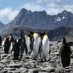 The Three Tenors - South Georgia, UK (Timothy Hastings) Tags: reality flightless bird aquatic sea ice snow wildlifenature antarctic southgeorgiaisland king penguin