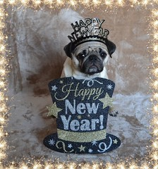 Happy New Year! (DaPuglet) Tags: pug pugs dog dogs pet pets animal animals newyear countdown 2019 happynewyear hat friends celebration party celebrate newyearseve costume bonneannée coth coth5