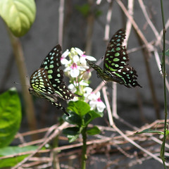 butterfly amhed 25dec2018b1 (chrisandrew314) Tags: tailed jay graphium agamemnon butterfly bali amed indonesia