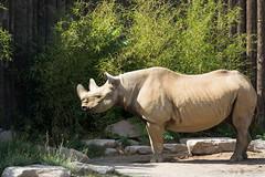 Black rhinoceros (Cloudtail the Snow Leopard) Tags: nashorn tier animal mammal säugetier rhino spitzmaulnashorn schwarzes diceros bicornis hook lipped black rhinoceros zoo magdeburg